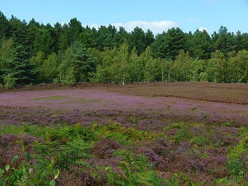 Dersingham bog heather