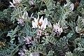 Deseret milkvetch (Astragalus desereticus) (31496944828).jpg