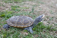 Diamantschildkröte Schildkröte Reptil Malaclemys terrapin.jpg