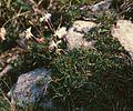 Dianthus petraeus1.jpg