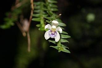 Maxillarieae - Dichaea squarrosa in Chiapas, Mexico
