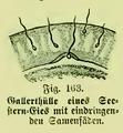 Die Frau als Hausärztin (1911) 163 Gallerthülle eines Seestern-Eies.png