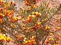 Dillwynia sericea 5.jpg