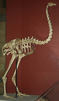 Dinornis maximus, Natural History Museum (PV A 608).jpg