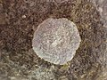 Dirina massiliensis f. sorediata (Müll. Arg.) Taylor 455891.jpg