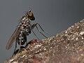 Dolichopodidae, Galicia (Spain).jpg