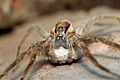 Dolomedes minor with egg sac.jpg