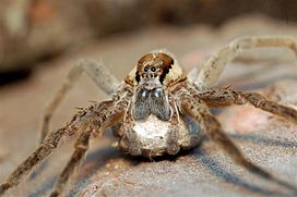 Dolomedes minor with egg sac.jpg