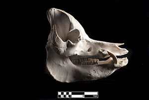 Pig - Skull of domestic pig.  (Sus scrofa domesticus).