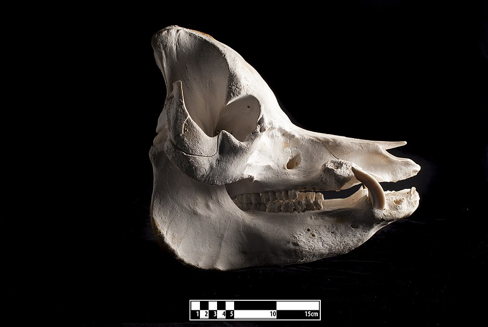 Domestic pig skull (Sus domesticus)