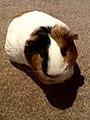 Domesticated guinea pig 15.jpg