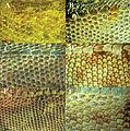 Dorsal scale morphology in Plica species - ZooKeys-355-049-g008.jpg
