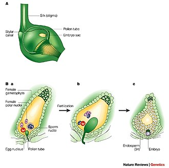 Double fertilization - Double fertilization