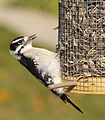 Downy Woodpecker2.jpg