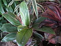 Dracaena broad leaved from lalbagh 2212.JPG