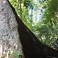 Dracontomelon dao racines palettes Laos.jpg