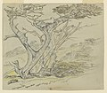 Drawing, Study of Old Cypress Trees, Cypress Point, April 11, 1898 (CH 18368933).jpg