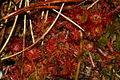 Drosera rotundifolia ro1.JPG