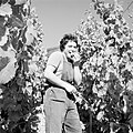 Druivenplukster proeft een trosje, Bestanddeelnr 254-4155.jpg