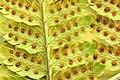 Dryopteris.carthusiana.2.jpg