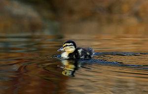 English: Duckling