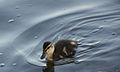 Duckling on adventure (4755362115).jpg