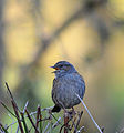 Dunnock in Mid-Song (11605798345).jpg