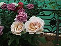 Dwarf Rose from Lalbagh flower show Aug 2013 8507.JPG