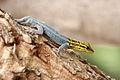 Dwarf yellow-headed gecko2.jpg