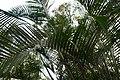Dypsis lutescens 11zz.jpg