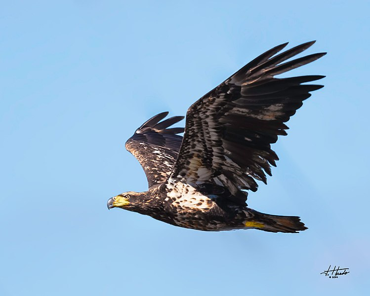 File:Eagles conowingo (17109919034).jpg