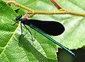 Ebony Jewelwing, male, Gatineau Park.jpg