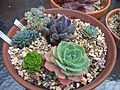 Echeveria, Pachyveria, Sediveria and Sedum (5849669100).jpg