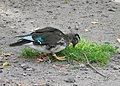 Eclipse plumage male mandarin duck.jpg