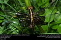 Eclosed Widow Skimmer, juvenile male (Libellulidae, Libellula luctuosa) (26475112243).jpg