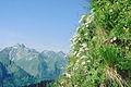Edelweissstock an der Hoefats.jpg