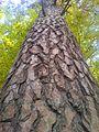 Ekotyp Sosny pospoliej w rezerwacie przyrody Pusta Wielka.jpg