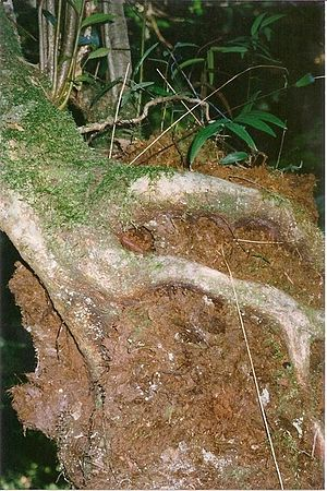 Hemiepiphyte - Black Olive Berry on a Soft Tree Fern at Devil's Creek, Tantawangalo, South East Forest National Park, Australia