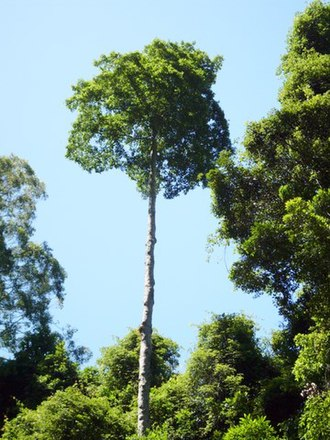 Elaeocarpus obovatus - Elaeocarpus obovatus growing at Watagans National Park, Australia