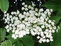 Elderflower-detail-pd.jpg