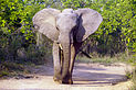 Elephant (Loxodonta Africana) 03.jpg