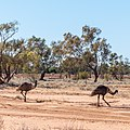 Emu Burke River floodplain Boulia Shire Queensland P1060870.jpg