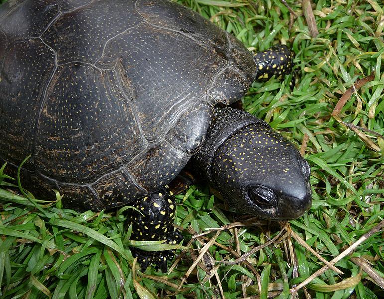 Європейська болотна черепаха (лат. Emys orbicularis). Фото: George Chernilevsky, суспільне надбання