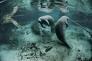 "Manatee - ""Endangered Florida manatee (Trichechus manatus)""."