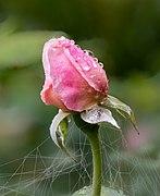 Englische Rose The Reeve Tropfen -RM-20190821-01.jpg