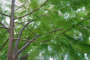 Enterolobium cyclocarpum - Branches and foliage of a young Enterolobium cyclocarpum, about 3 years old, in Naiguata, Venezuela