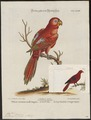 Eos rubra - 1700-1880 - Print - Iconographia Zoologica - Special Collections University of Amsterdam - UBA01 IZ18500316.tif