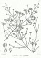 Ephedra aphylla Bra69.png