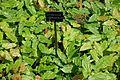 Epimedium chlorandrum - Savill Garden - Windsor Great Park, England - DSC06478.jpg