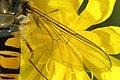 Episyrphus.balteatus.wing.detail.jpg